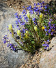 The blue-purple flowers are (likely) Rydberg Penstemon Flowers, but the ones that are still closed I could not identify (I will have to get me a couple of books on wildflowers).  And, of course, some Stonecrop mixed in there.