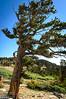A Bristlecone Pine.