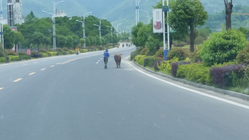 Taking the cow for a walk on the highway