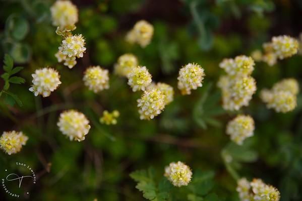 Mt. Rainier - Wildflowers