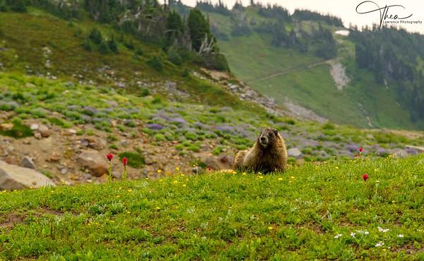 Mt. Rainier Marmot