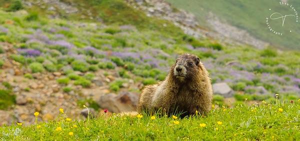 Mt Rainier - Marmot Close Up