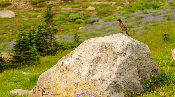 Mt. Rainier - Wildlife