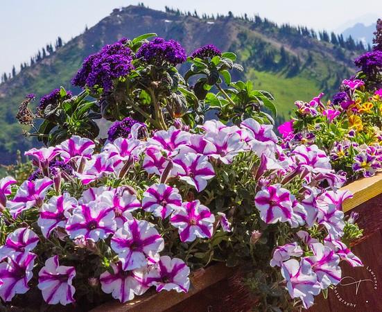 Crystal Mountain - Supertunia Lovie Dovie Petunias
