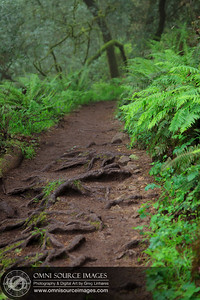 Matt Davis Trail Roots and Ferns - Mt Tamalpias