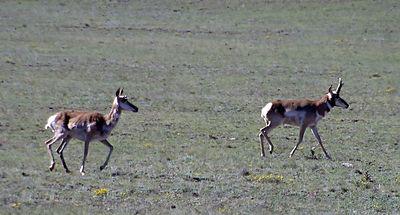 IMG_1396 antelopes