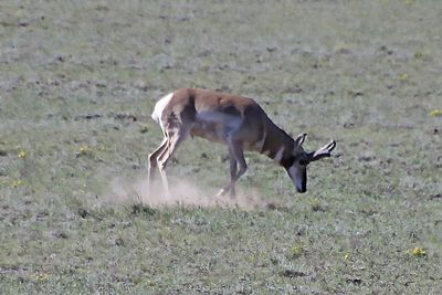 male antelope pawing 1399