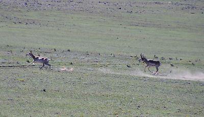 2 antelope 1402