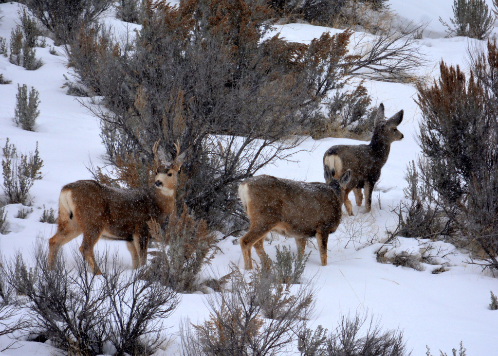 Mule Deer - Jackson Hole, Wyoming