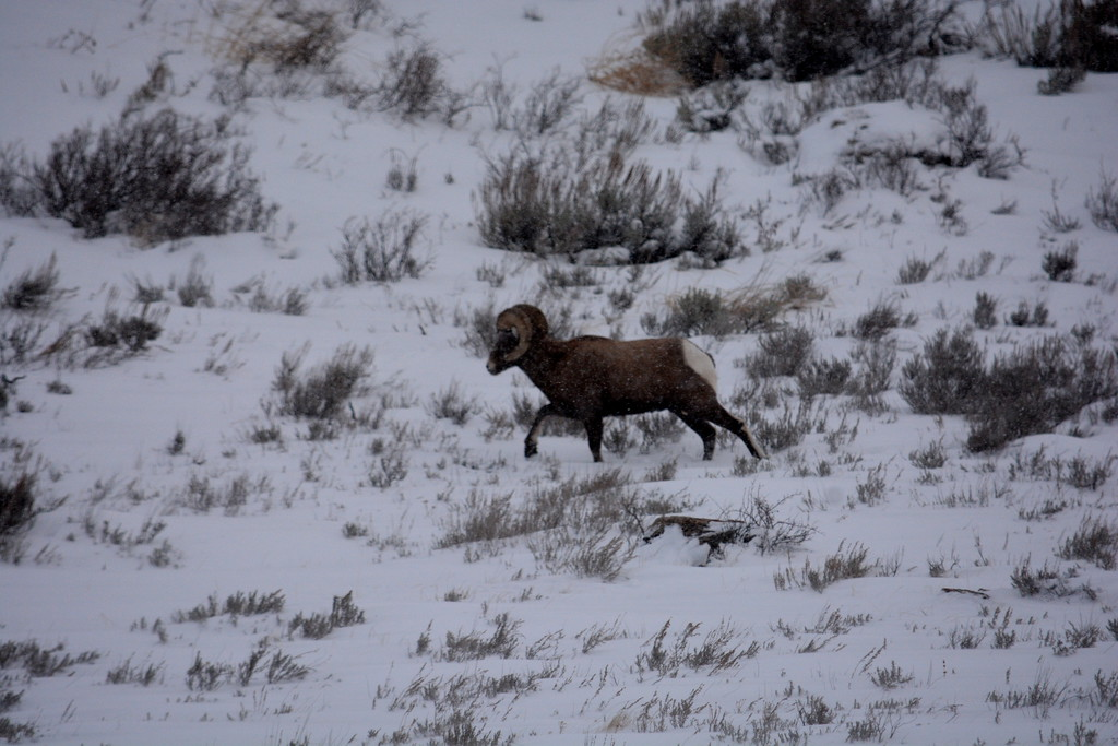 Big Horn Sheep - Jackson Hole, Wyoming