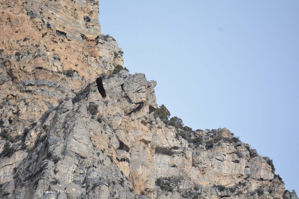 Bald Eagle - Slate Canyon
