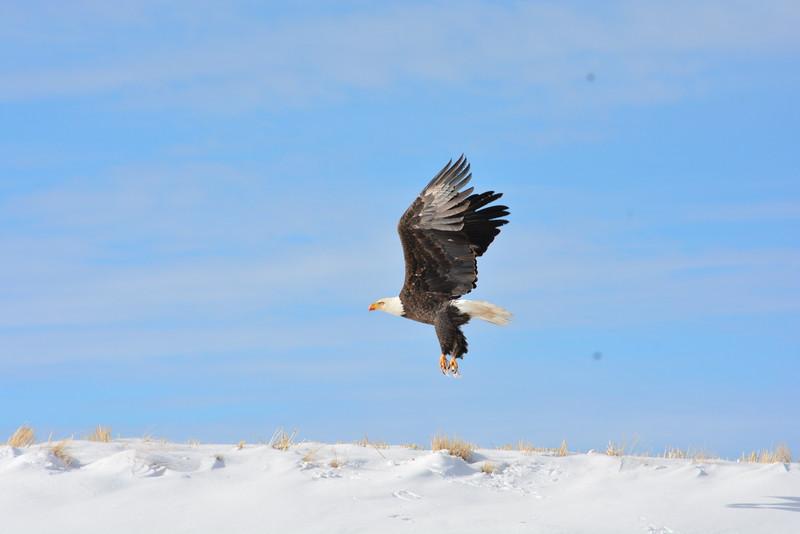 Bald Eagle, Georgetown, Idaho