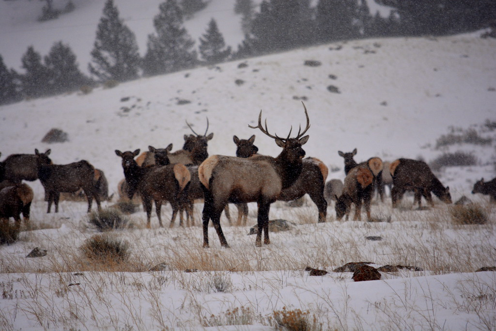 Elk - Jackson Hole, Wyoming