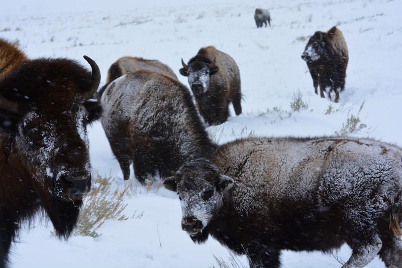 Buffalo - Jackson Hole, Wyoming