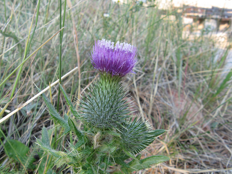 Prickly thistle.