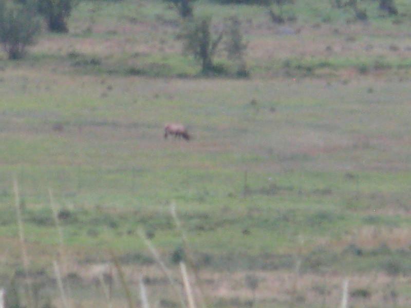 Elk in the meadow.