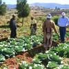 Mozambique - Manica - Chazuka - Cabbages