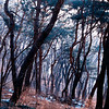 Forest, Mt. Ansan