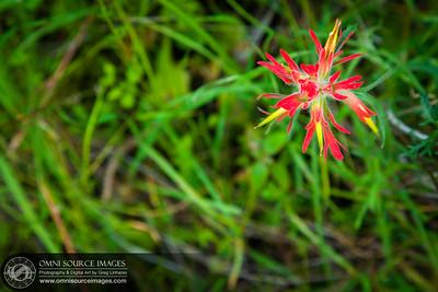 Indian Paintbush Wildflower - Mitchel Canyon Fire Trail - Mt Diablo, CA