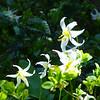 Mountain Lilies 14