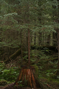 First few kilometers pass through a dense, beautiful, aromatic forest. Small tree is growing from the large stump.
