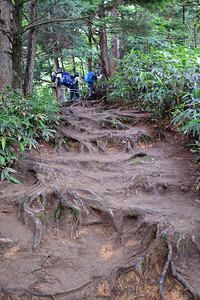 Tree roots hold the trail with bamboo on each side.
