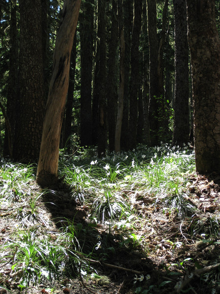 Glacier lillies by the hundred on the Mazama trail