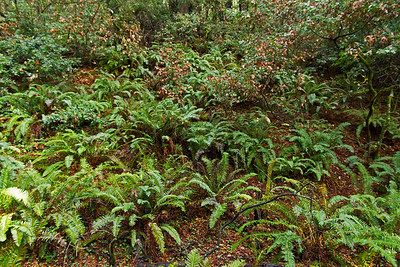 Lots of ferns growing on forest floor
