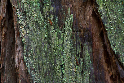 A redwood tree covered in lichen