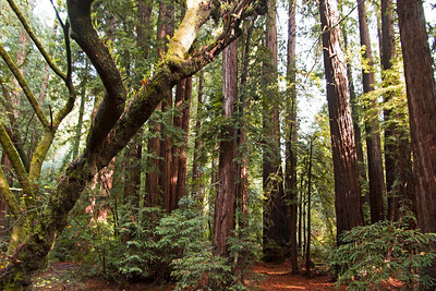 Many of the redwood trees here are 500-800 years old
