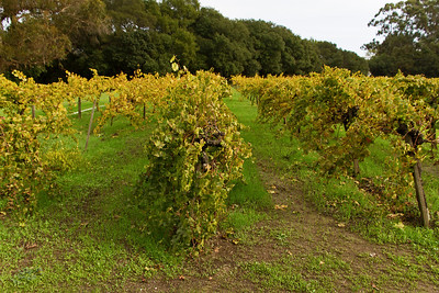 The grapes have all been harvested from this vinyard