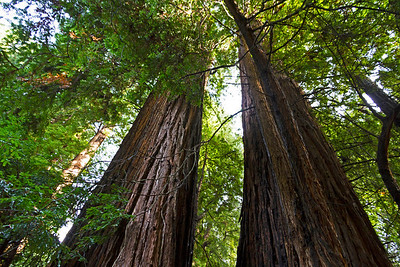 Massive California redwood trees