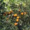 Orange groves outside Griffith