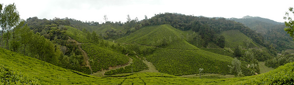 Panoramic view of the tea estates in Munnar. The carpet of lush greenry with the cool weather is very relaxing. Munnar is a town located in Idukki District of  Kerala (located in the southern Western Ghats). The area is surrounded by vast jungles and is 1600 m (5400 ft) above sea level. There are three rivers - Madupetti, Nallathanni and Periavaru which flow through this town.