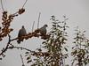 Doves in Helen's garden