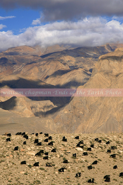 Yak graving on high altitude pasture- Upper Mustang