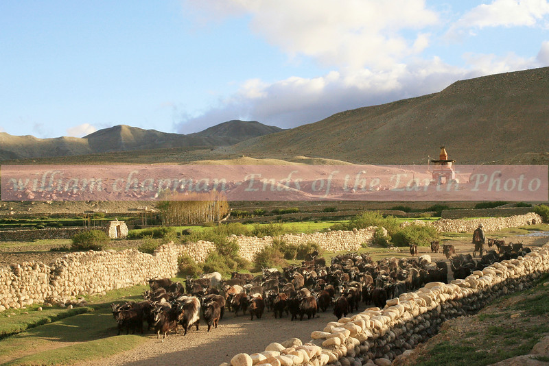Bringing livestock herds down from pasture in the afternoon is a daily routine in Upper Mustang