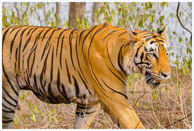 T-28 Star Male Tiger - Ranthambhore National Park, Rajasthan