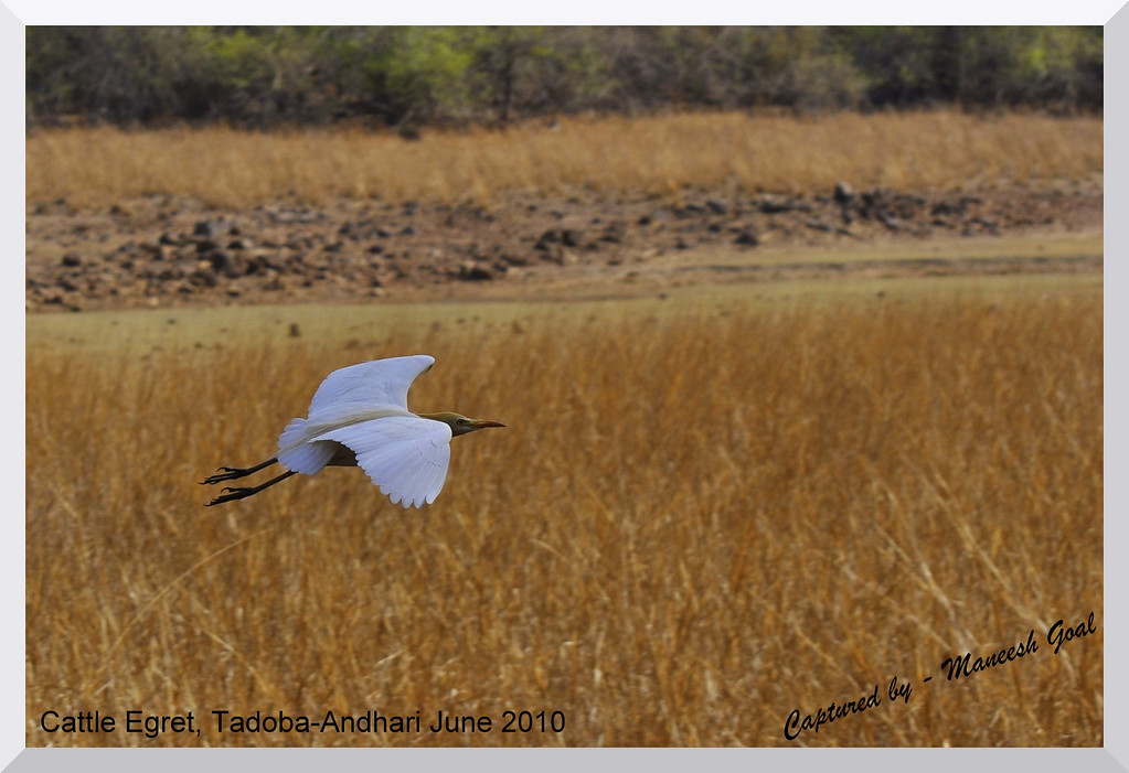 A Cattle Egret in flight at the Tadoba-Andhari Tiger Reserve, Maharashtra