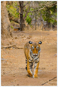 I'm lookin at u! Sultanpur Tigress - Ranthambhore National Park, Rajasthan