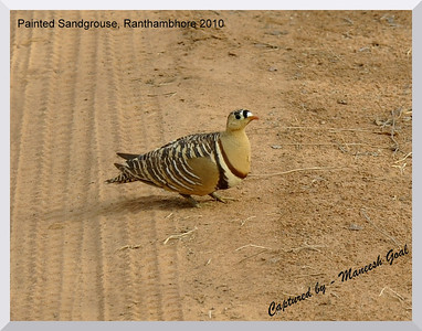 Painted Sandgrouse, Ranthambhore National Park