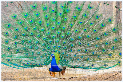 Indian Peafowl (Peacock), Ranthambhore National Park, Rajasthan