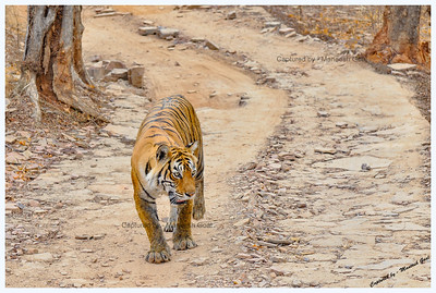 Legendary Machali (Machli) Tigress & her majestic walk! - Ranthambhore National Park, Rajasthan