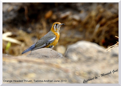 Orange Headed Thrush, Tadoba-Andhari Tiger Reserve, Maharashtra