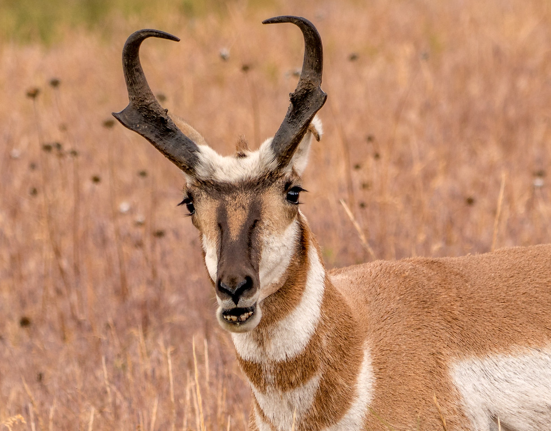 Funny Antelope