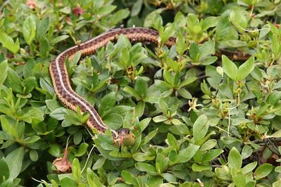 Snake in Amityville, NY