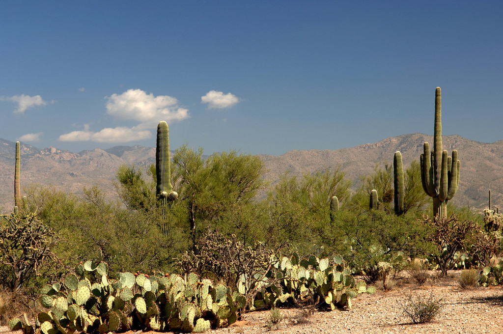 "October 2005 <a href=""http://adejoie.smugmug.com/gallery/902029_5XjDt"">Saguaro National Park</a>"