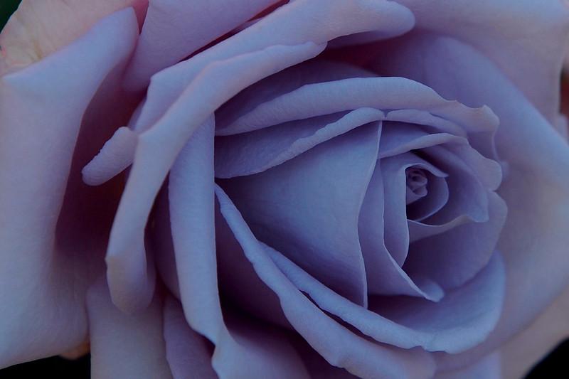 """Sept 11 2008 <a href=""""http://adejoie.smugmug.com/gallery/6042094_BS2V5"""">The International Rose Test Garden, Portland, Oregon</a>"""