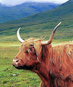 A Coo in the Highlands of Scotland, and yes it's spelled right.