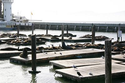 The Pier 39 Sea Lions.
